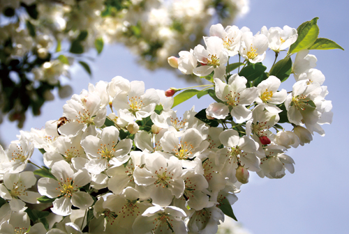 Crable Trees Bloom Later Than Peach And Cherry The Flowering Season Lasts Longer Every April More 3 000 Bring Crowds To