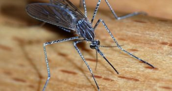 mosquito_wikipedia