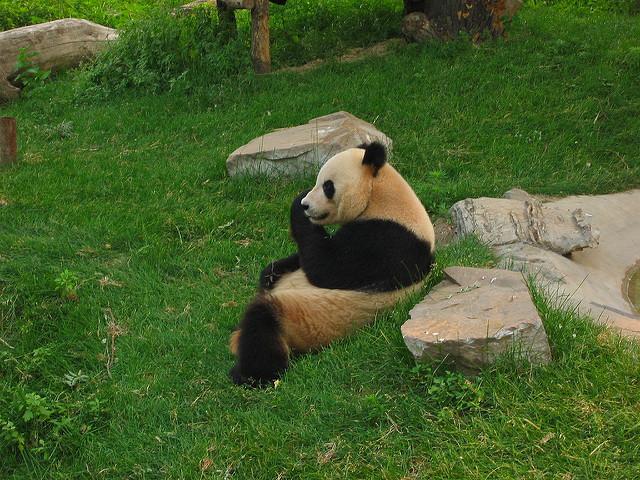 Beijing Zoo Panda