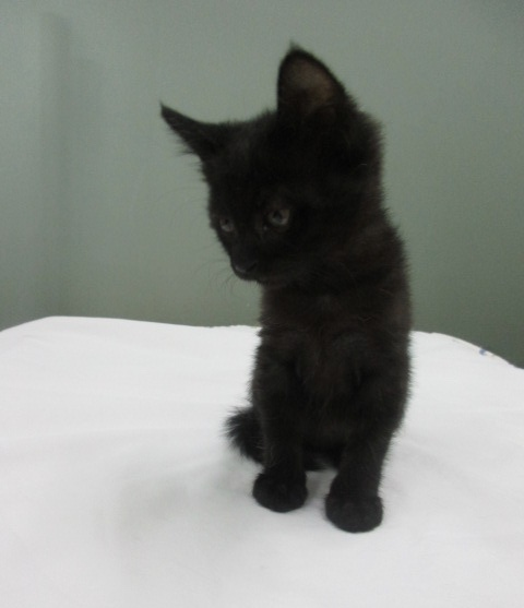Blackie Kitten
